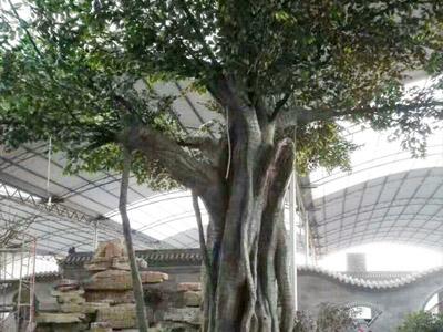 假树m6米乐投注网站